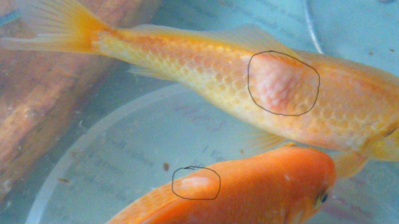 Sick goldfish bottom of tank